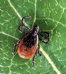 Nieuwe Borrelia bacterie gevonden in blacklegged tick